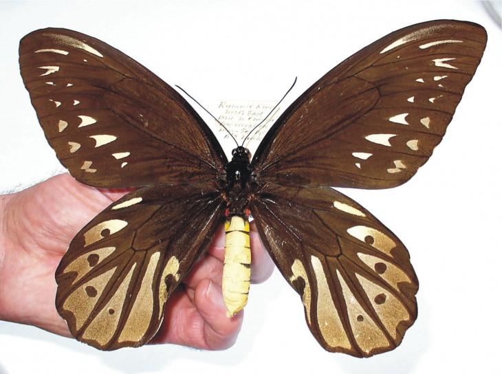 Mariposa grande con alas de pájaro
