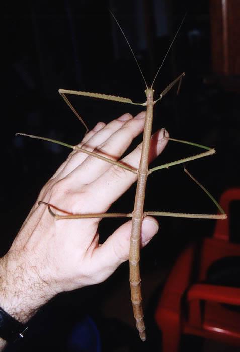 Insecto Palo gigante en la mano de una persona