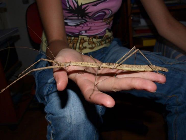 Insecto palo gigante sobre la mano de una persona