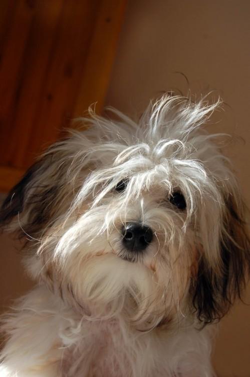 Cachorro con los pelos despeinados