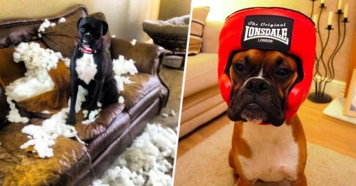 Estos boxer siempre son la onda