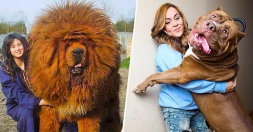 Aunque sean grandes, pesados, y juguetones , los perros siempre serán tus aliados