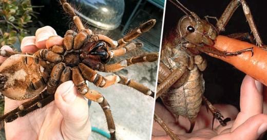 Tarantula goliat vs Langosta gigante quien gana