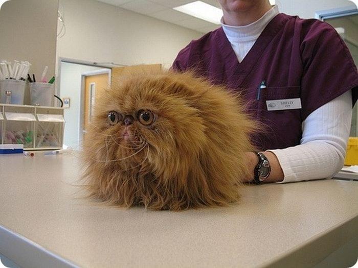 Gato en el veterinario con cara de miedo