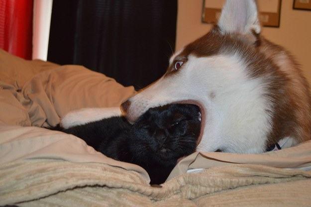 Perro simula comerse la cabeza de un gato acostados sobre la cama