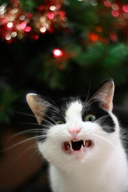Cara de un gato que simula estar gritando y con cara de enojo