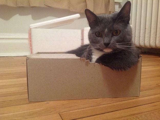 Gato dentro de una caja de zapatos mirando fijamente un lugar