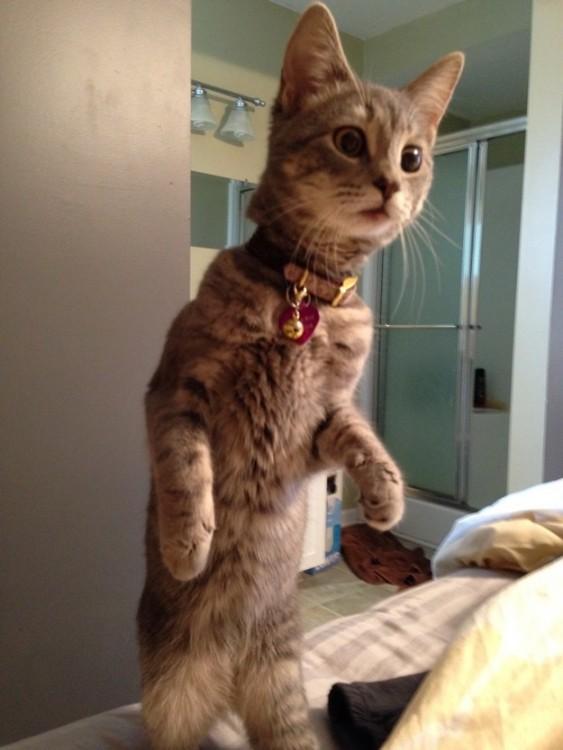 Gato parado en dos patas sobre una cama con cara de sorprendido viendo a un lugar
