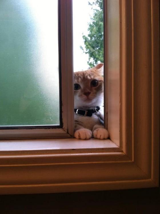 gato pasando por la ventana