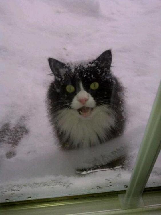 gato afuera con nieve esperando entrar