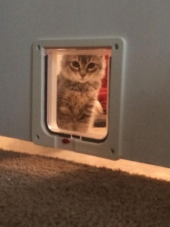 gato mirando por puerta para mascotas