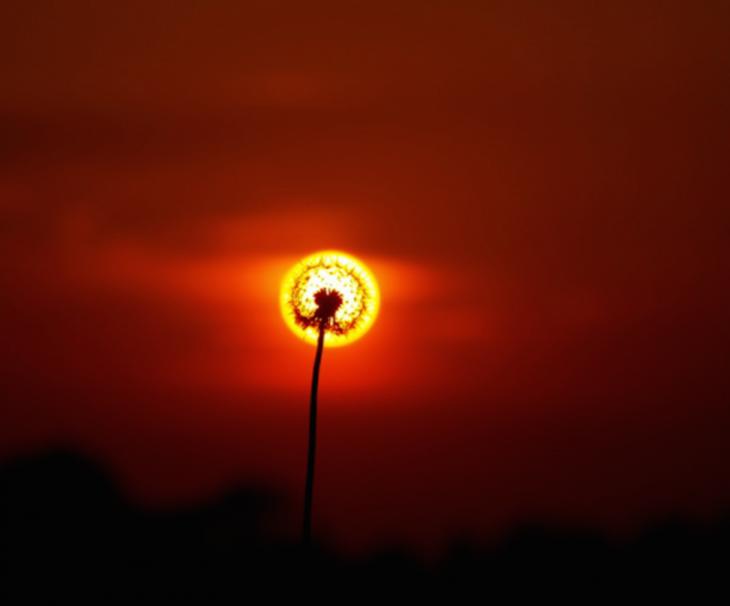 Una planta de diente de león con el sol detrás de ella