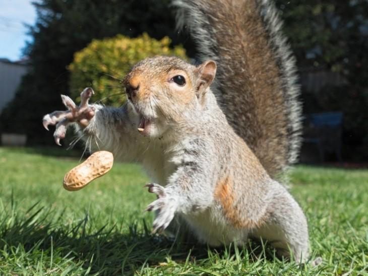Una ardilla intentando atrapar un cacahuate frente a ella