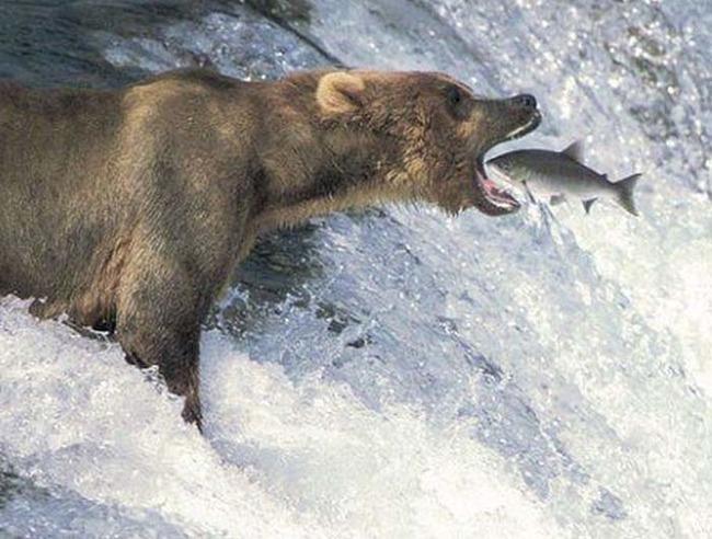 Fotografía tomada en el momento exacto donde un oso esta por comerse un pez