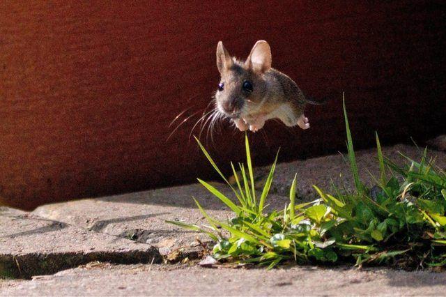 Pequeño ratón saltando sobre unas hojas verdes en el suelo