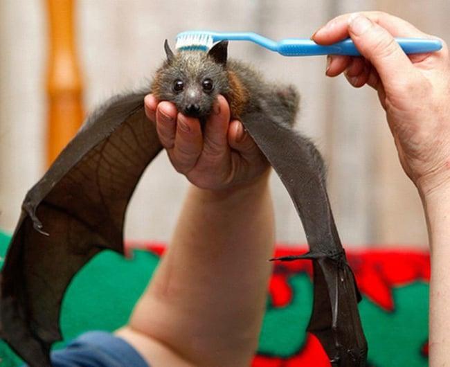 Persona limpiando un murciélago con un cepillo de dientes