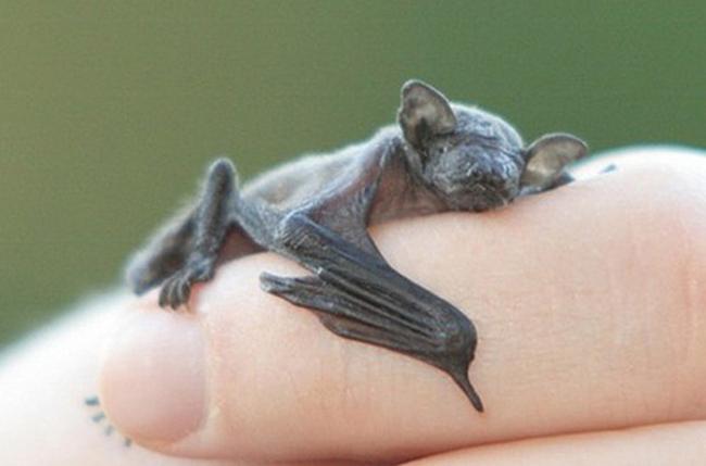 Pequeño Murciélago dormido sobre el brazo de una persona