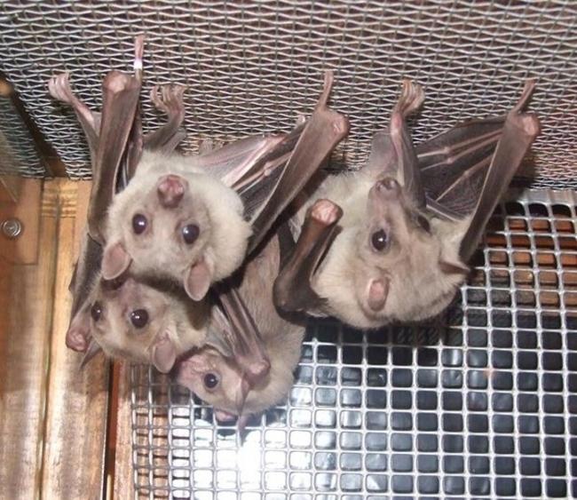 Murciélagos colgados boca abajo dentro de una jaula
