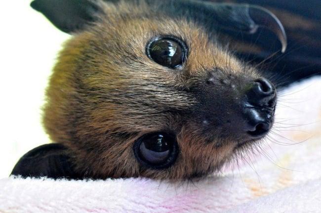 Cara de un murciélago acostado