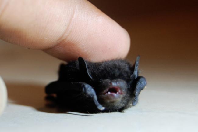 Mano de una persona acariciando la cabeza de un pequeño murciélago