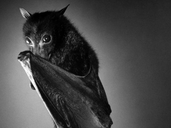 Murciélago negro que se cubre un poco con una de sus alas