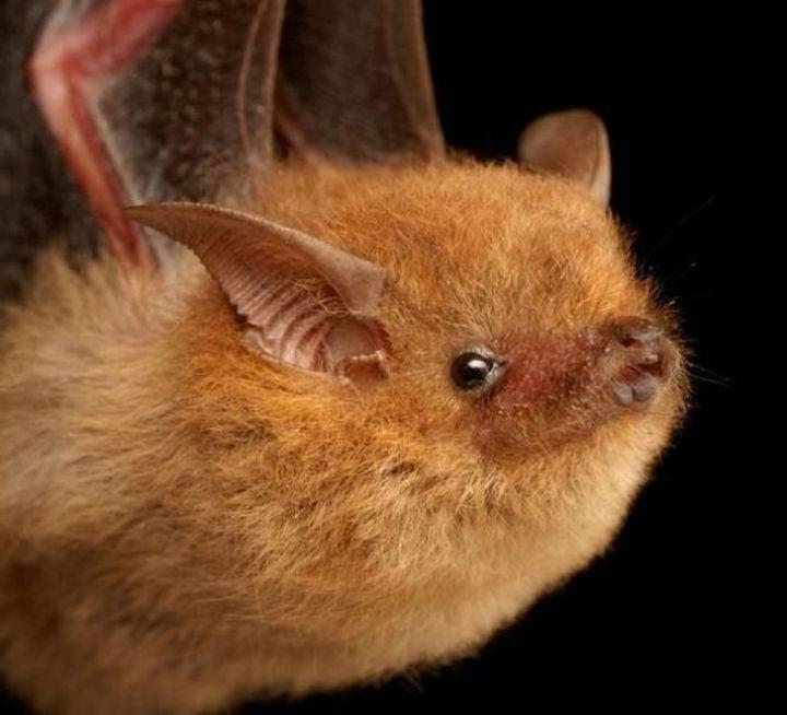 Un murciélago que parece una bola pelos