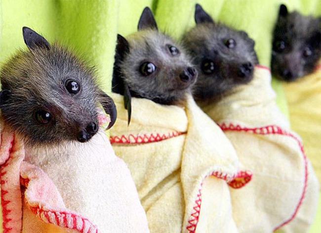 4 pequeños Murciélagos enredados en cobijas