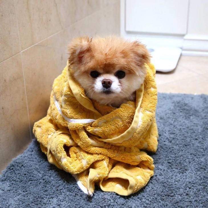 Perro en el baño envuelto en una toalla amarilla