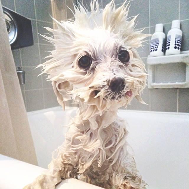Peinado de un perro en la bañera durante la ducha