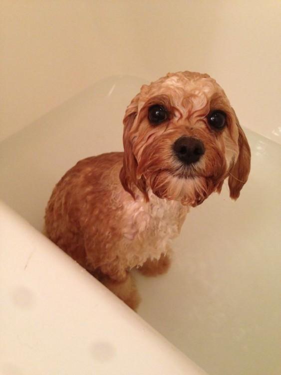 Perro moja de color café dentro de una bañera con agua