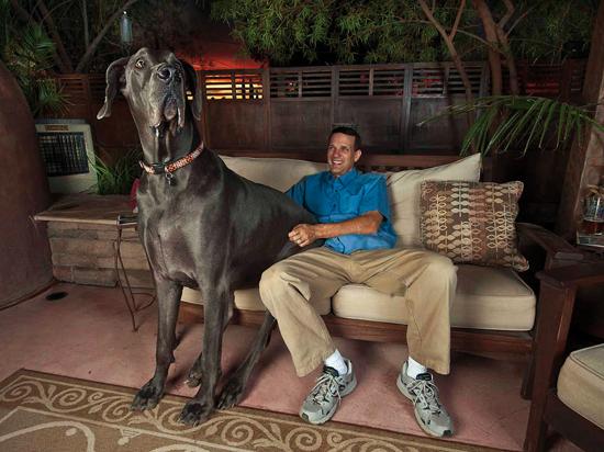 Un perro de gran tamaño sentado en un sofá junto a su dueño