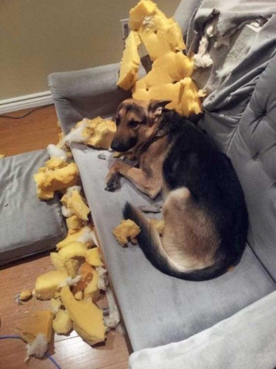 Perro acostado en un sillón desgarrado