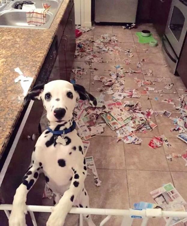 Perro dalmata recargado sobre algo con muchos papeles tirados en el suelo