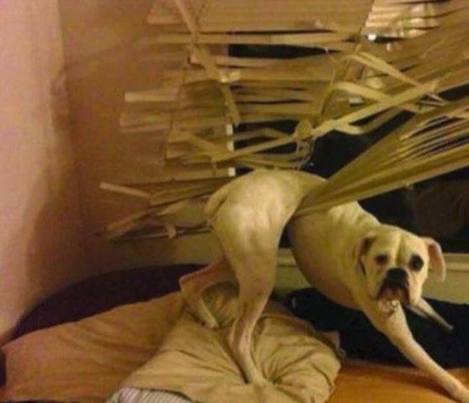 Perro sobre una cama atorado en una persiana