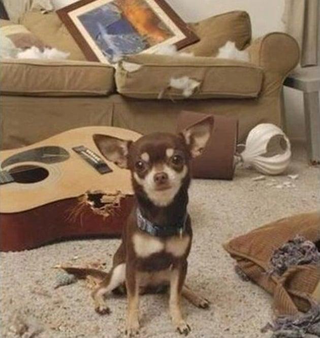 Perro chihuahua en una sala con algunos objetos destrozados y mordidos por él