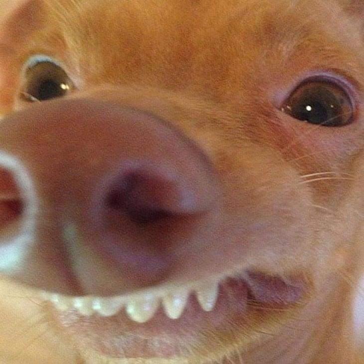 perro raza Chiweeni  mostrando una sonrisa