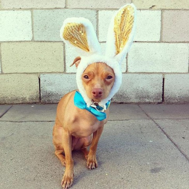 perro raza Chiweeni con oreja  de conejo
