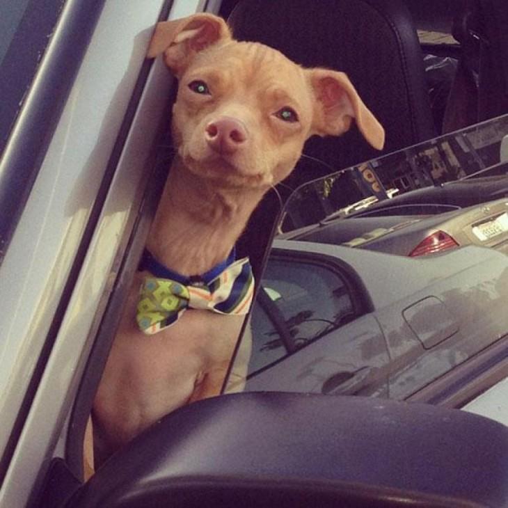 perro raza Chiweeni en un auto con corbata mariposa