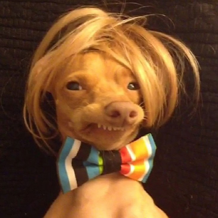 perro raza Chiweeni  con peluca y corbata mariposa