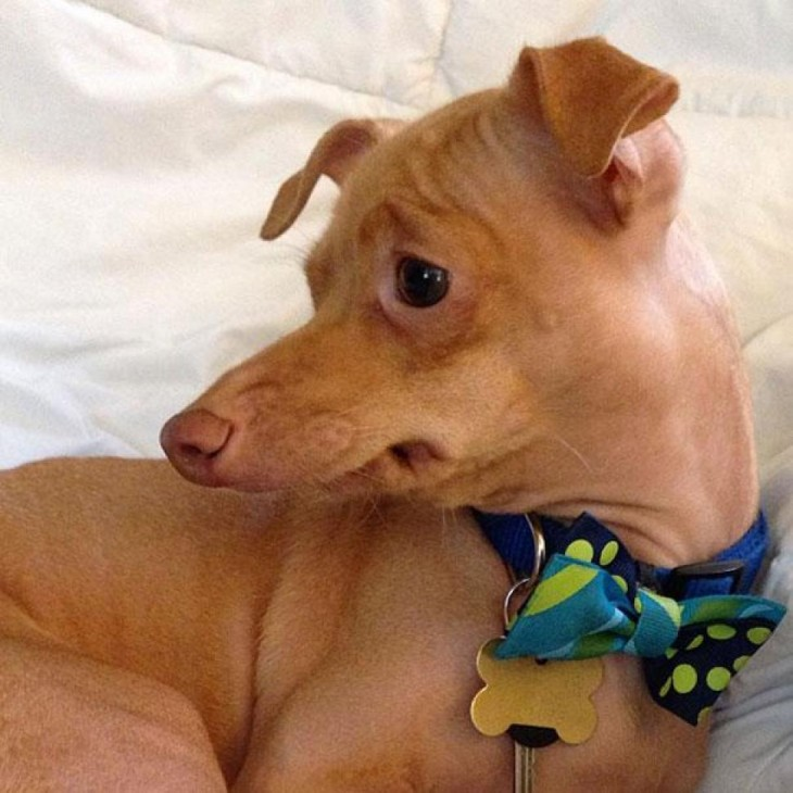 perro raza Chiweeni  usando corbata mariposa