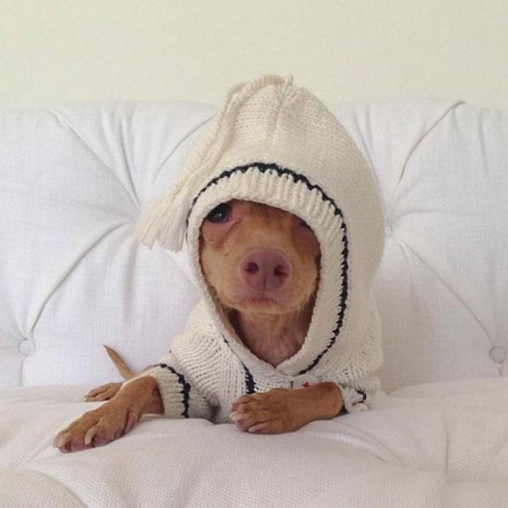perro raza Chiweeni  con un buso puesto