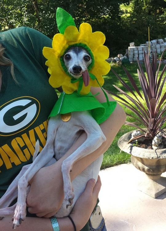perro galgo con la lengua afuera vestido de margarita