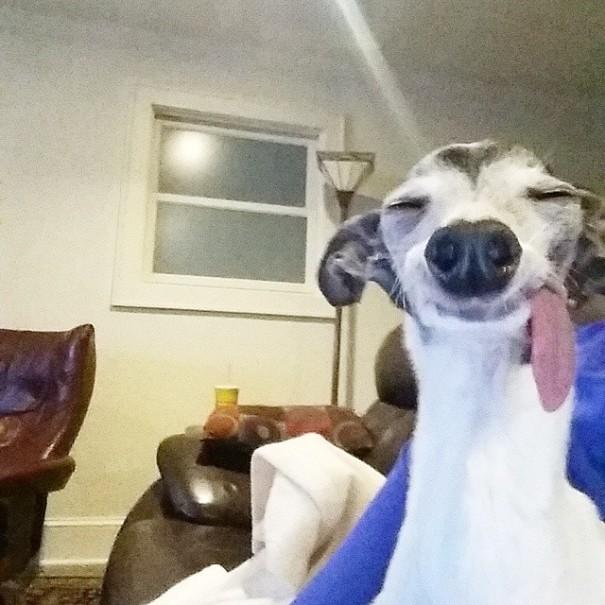 perro galgo con la lengua afuera dentro de una a