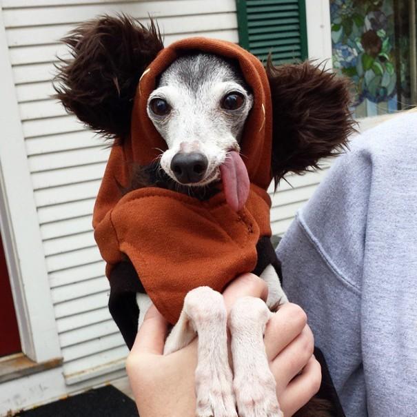 perro galgo con la lengua afuera vestido de ewok