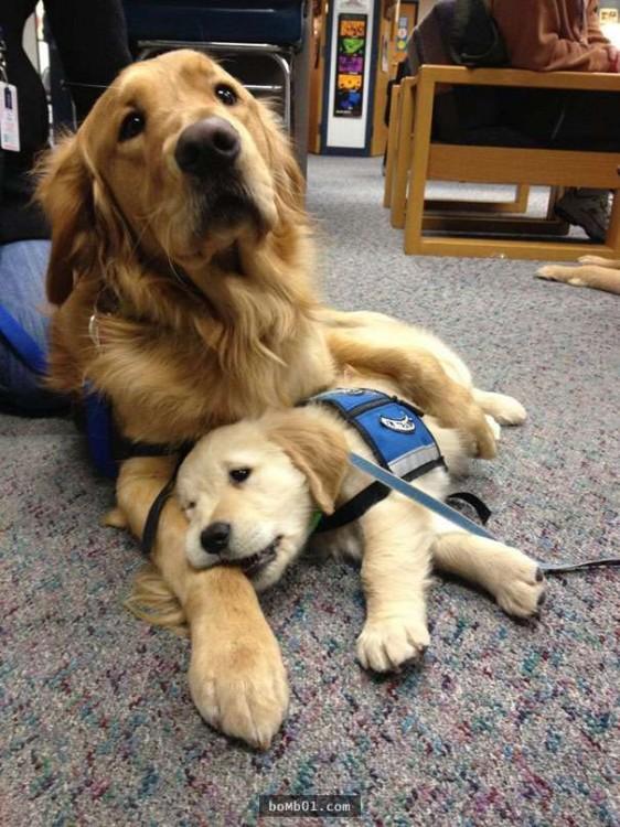Golden y labrador descansando en una alfombra