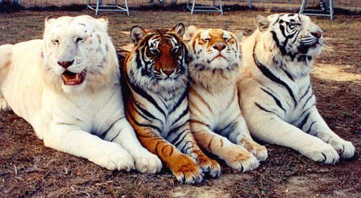4 tigres con mutaciones