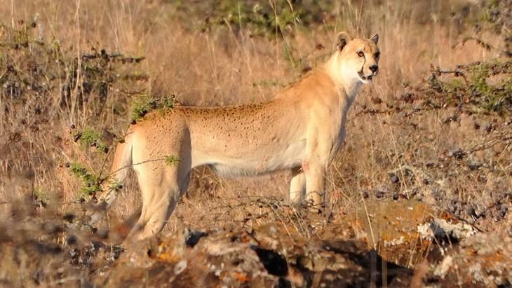 guepardo con mutaciones