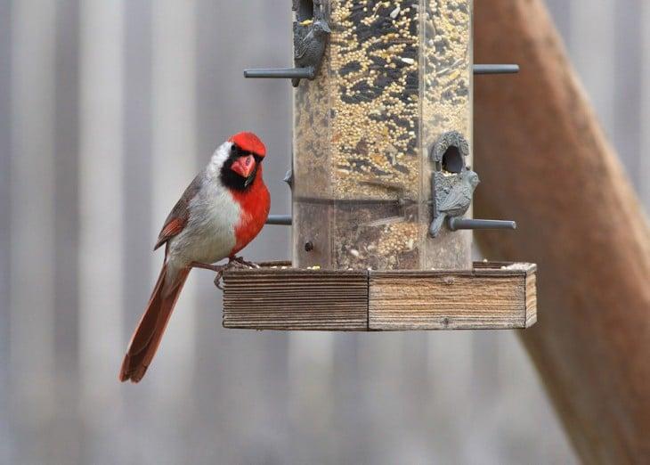 cardenal con mutaciones de colores