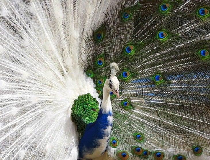 pavo real con mutaciones de colores