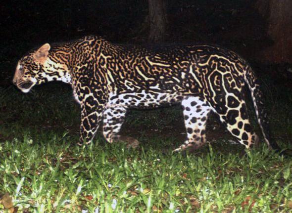 leopardo con mutaciones